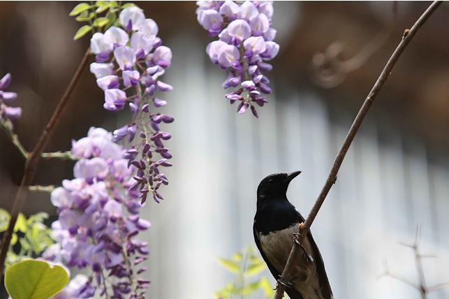 昆明:紫藤花开春满园