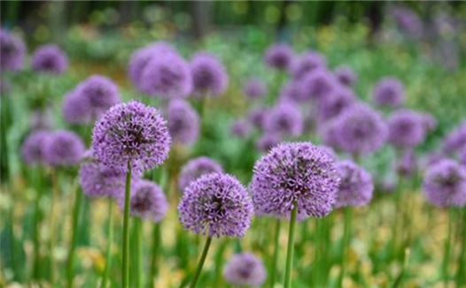 蔥花綻放昆明植物園