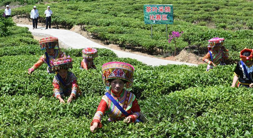 云南丽江华坪县以茶为媒促发展