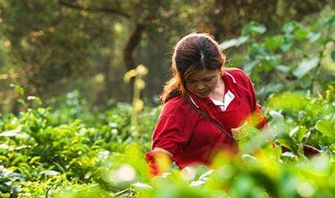 雲南省春茶採摘過半産量價格穩中有升
