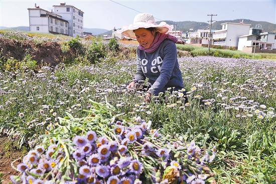 弥渡中草药产业成经济增长点