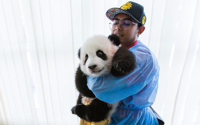 """旅馬大熊貓的馬來西亞""""奶爸"""""""