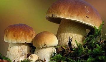 雲南:野生菌上市 價格一路走低