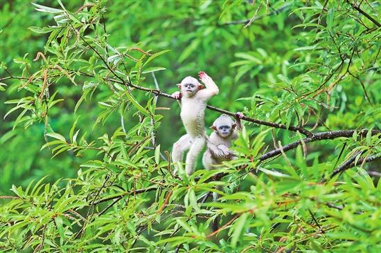 響古箐:神奇的滇金絲猴家園