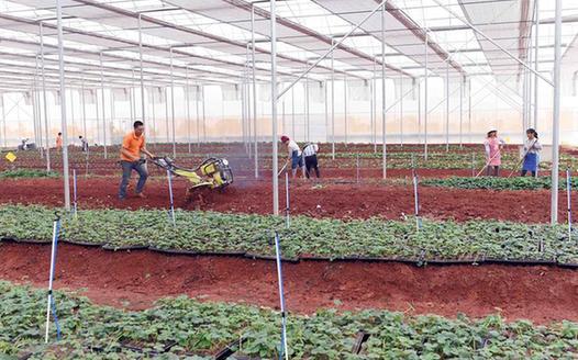 硯山:果蔬産業扶貧促農民脫貧