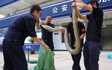 雲南版納:巨蟒被山洪衝入稻田警民聯手解救
