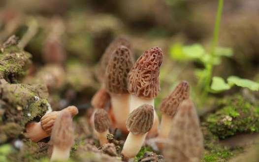 羊肚菌:自然絕妙饋贈,盛宴珍寵菌種