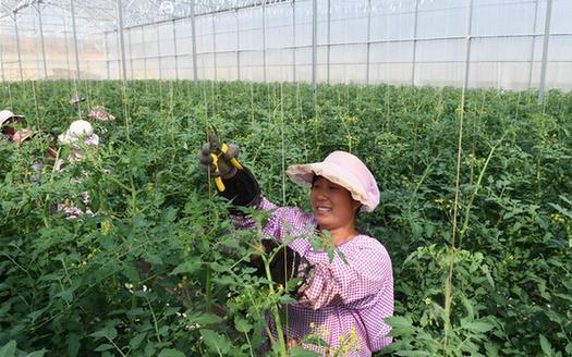 雲南硯山:蔬菜種植帶動農民脫貧增收