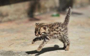 雲南墨江警民攜手救助兩只豹貓幼崽