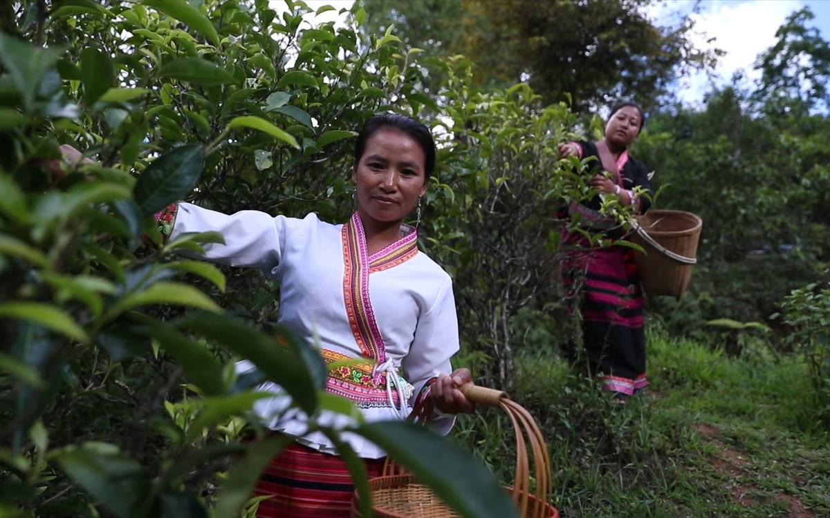 雲南布朗山:茶樹變身致富樹