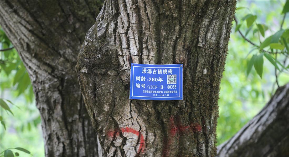 漾濞太平村古核桃樹