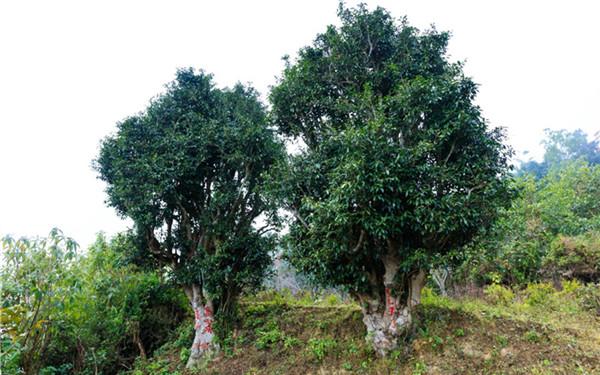高黎貢山生態茶業有限責任公司踐行企業責任 助力脫貧攻堅