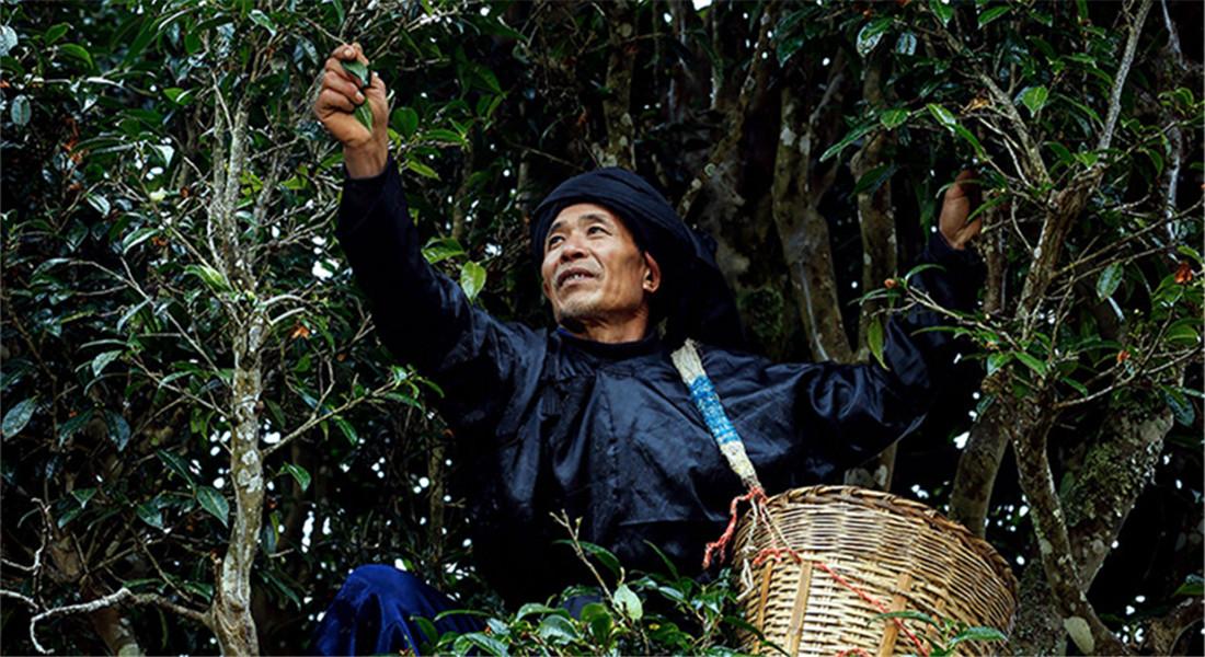 茶葉基地德昂族人採茶忙