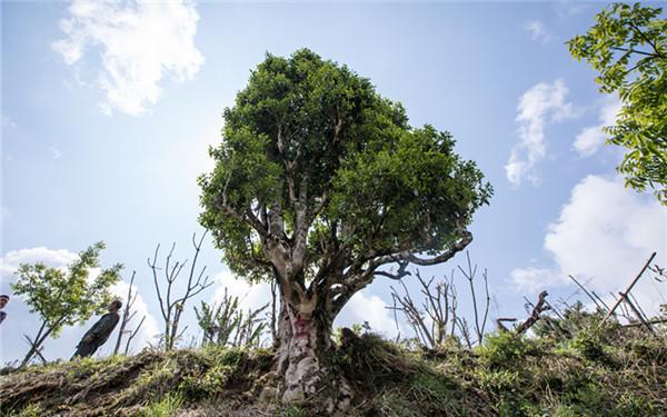 高黎貢山生態茶業有限責任公司通過歐盟有機認證