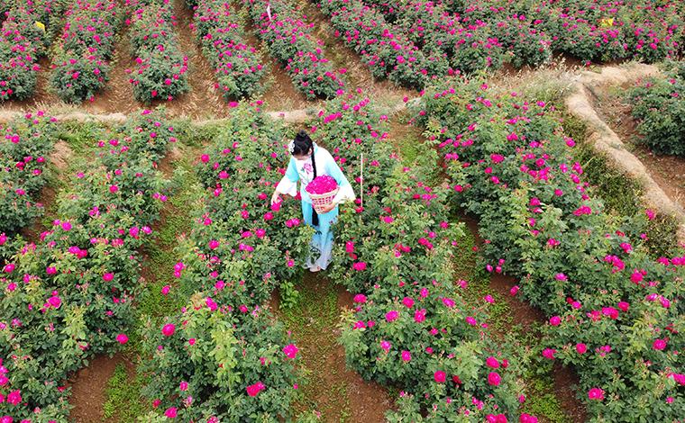 雲南安寧:航拍萬畝玫瑰 共赴芬芳之旅