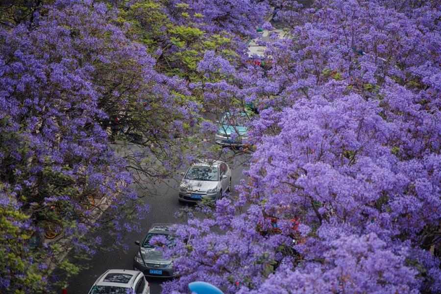 春城昆明藍花楹盛開