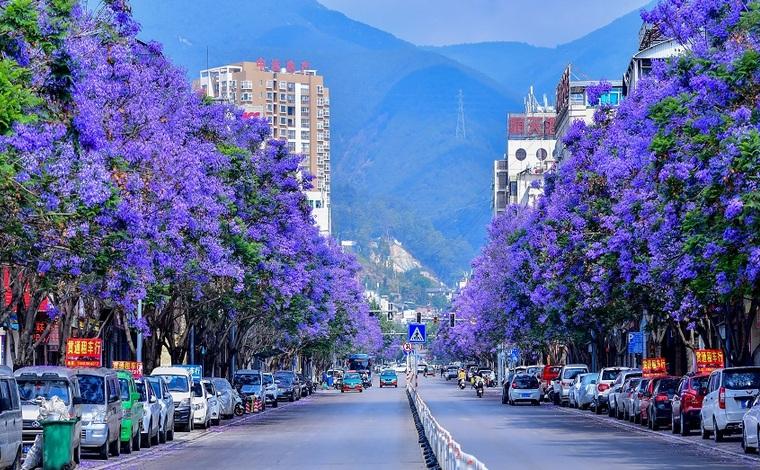 藍花楹開了!紫色浪漫點亮夢幻保山