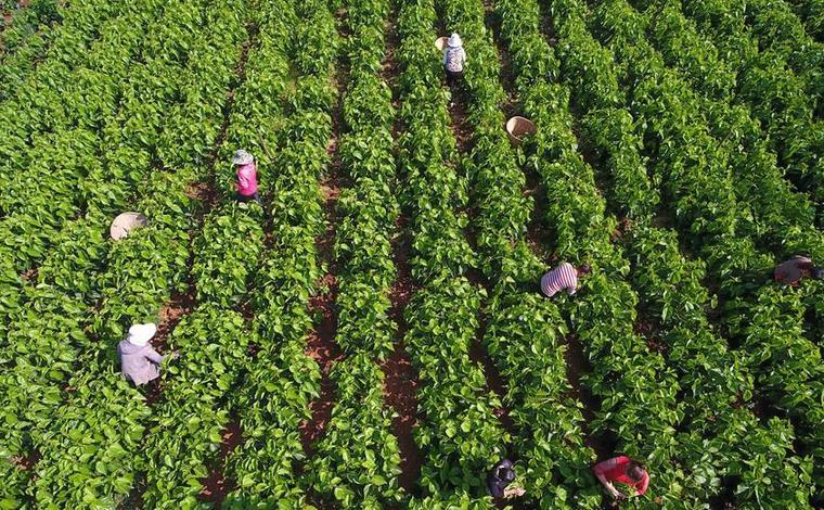 雲南尋甸:蠶桑養殖加工助農脫貧致富