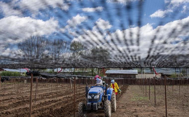 雲南香格裏拉:中藥材種植助農增收