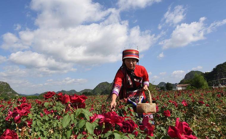 雲南丘北:玫瑰花産業帶動農民脫貧增收