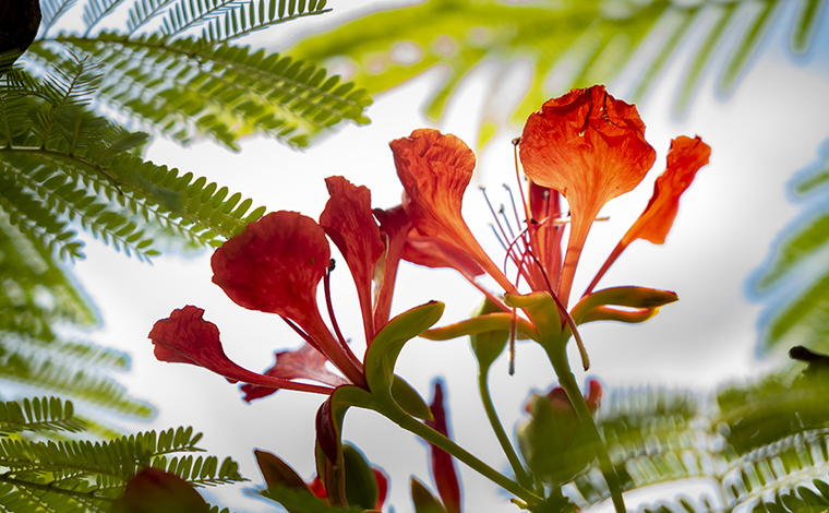雲南蒙自:鳳凰花開紅滿城