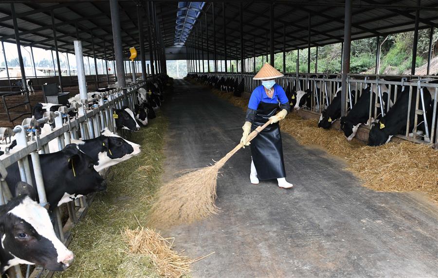 雲南尋甸:奶牛養殖助農民脫貧增收