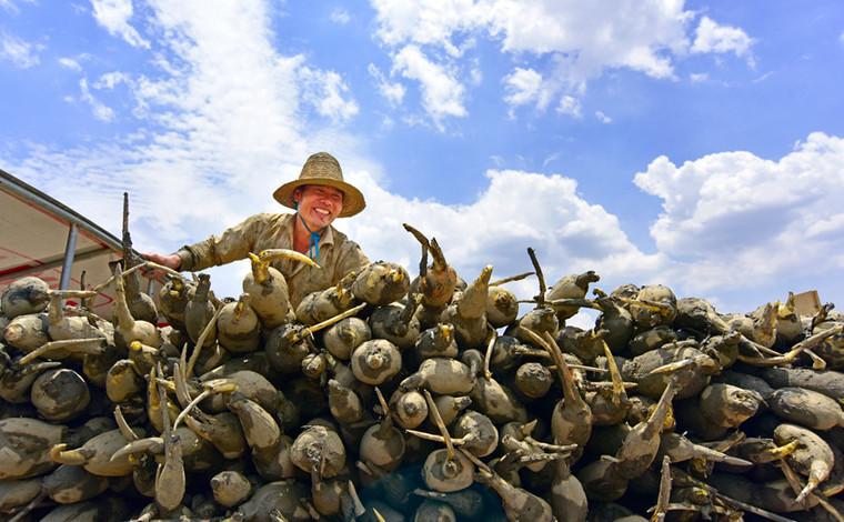 雲南彌勒:蓮藕豐收農人樂