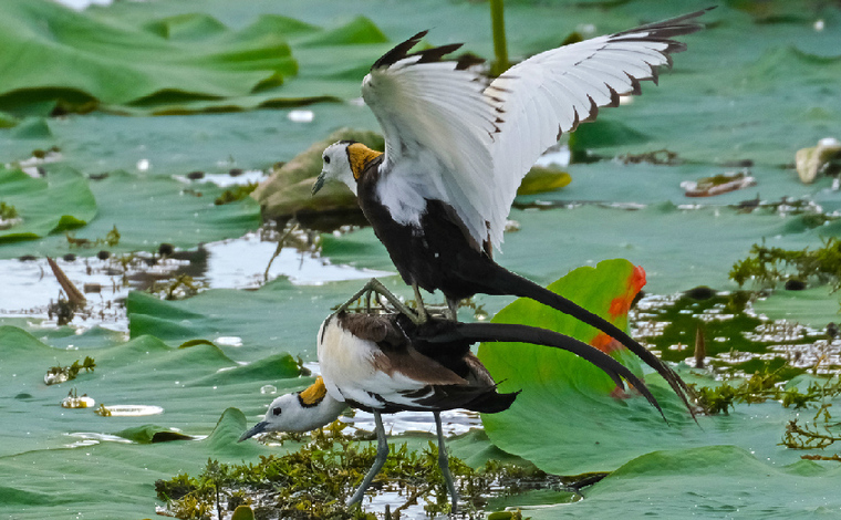 雲南石屏異龍湖 群鳥嬉戲棲清湖