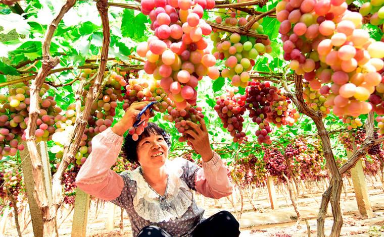 雲南彌勒:葡萄豐收採收忙