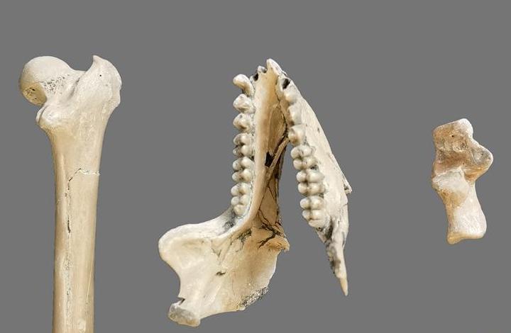 雲南昭通發現640萬年前最接近金絲猴祖先的化石
