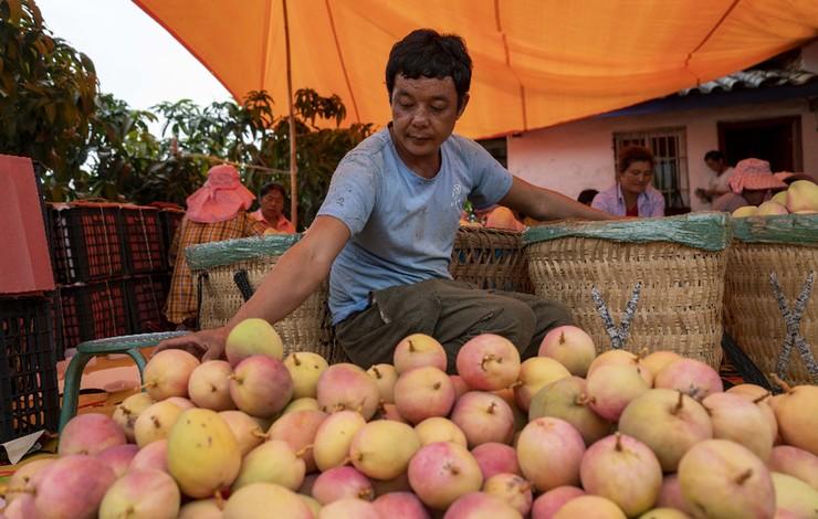 雲南華坪:芒果飄香果農忙
