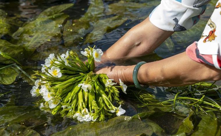 大理洱源:生態海菜助民增收