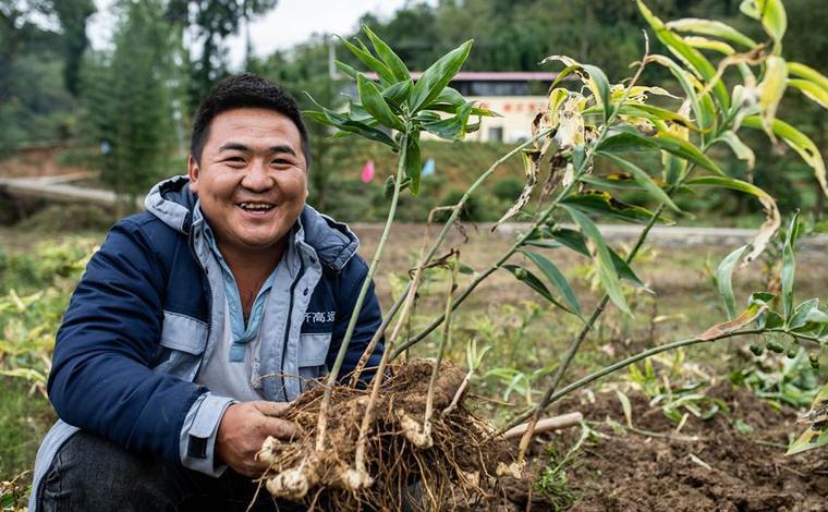 雲南鎮雄:中藥材種植助農增收