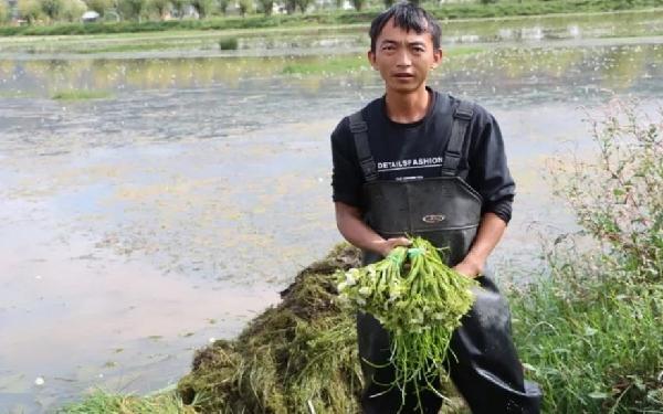 """洱源農商行:""""貸""""動生態海菜種植 護了生態富了民"""
