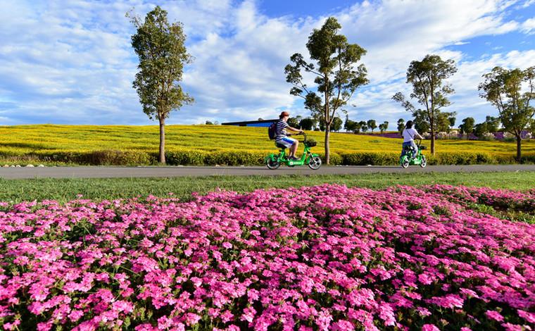 雲南彌勒:千畝鮮花競相綻放