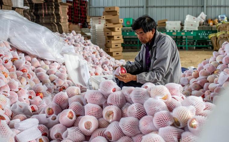 雲南會澤:火紅石榴促增收