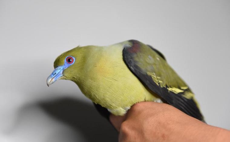 雲南無量山發現白腹針尾綠鳩