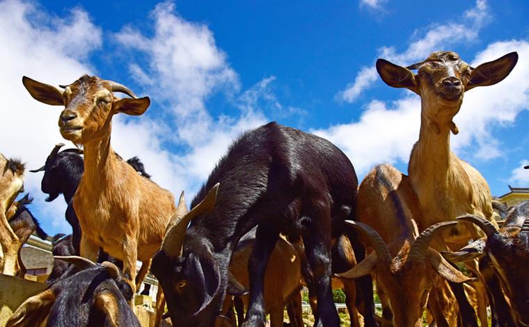 雲南彌勒:生態養羊助農增收
