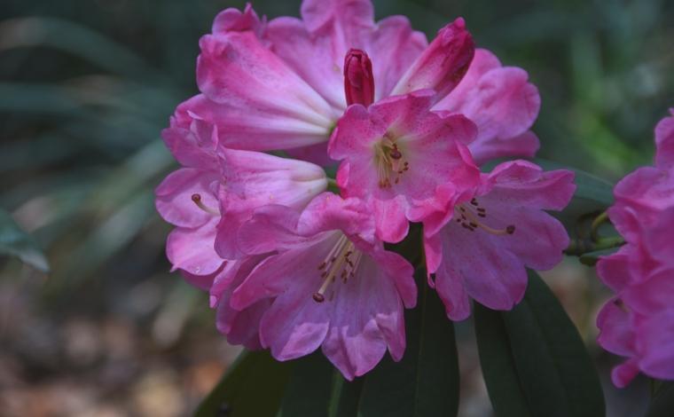 昆明植物研究所3個國家級杜鵑花新品種獲得授權