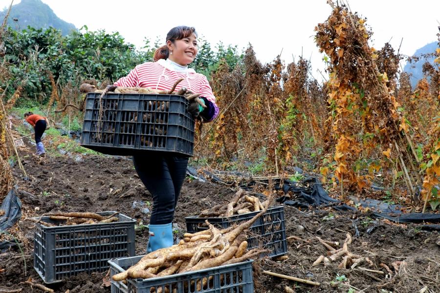 初冬時節 雲南富源十八連山農特産業豐收正當時