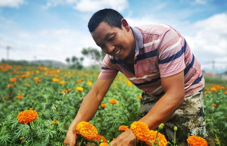 雲南祥雲:千畝藥菊撬動山區增收560萬