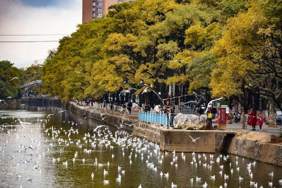 雲南昆明:人鷗相約大觀河畔