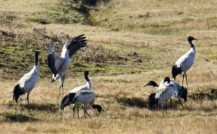 首批赴雲南尋甸越冬的黑頸鶴已抵達