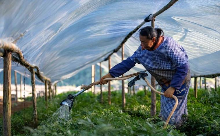 雲南西疇:中草藥種植助農增收