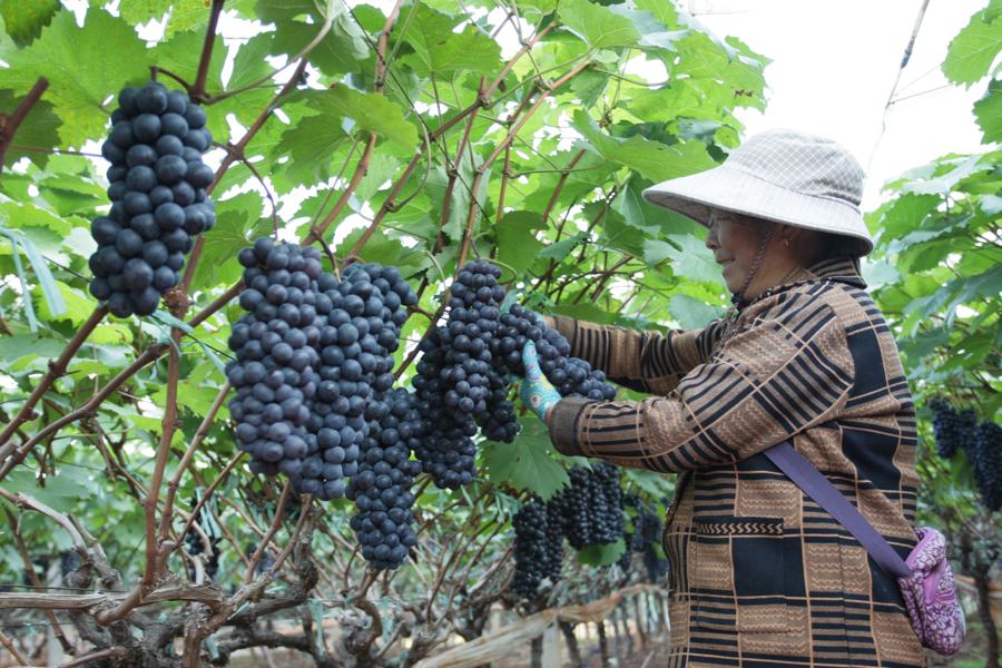 雲南建水:冬季葡萄迎豐收
