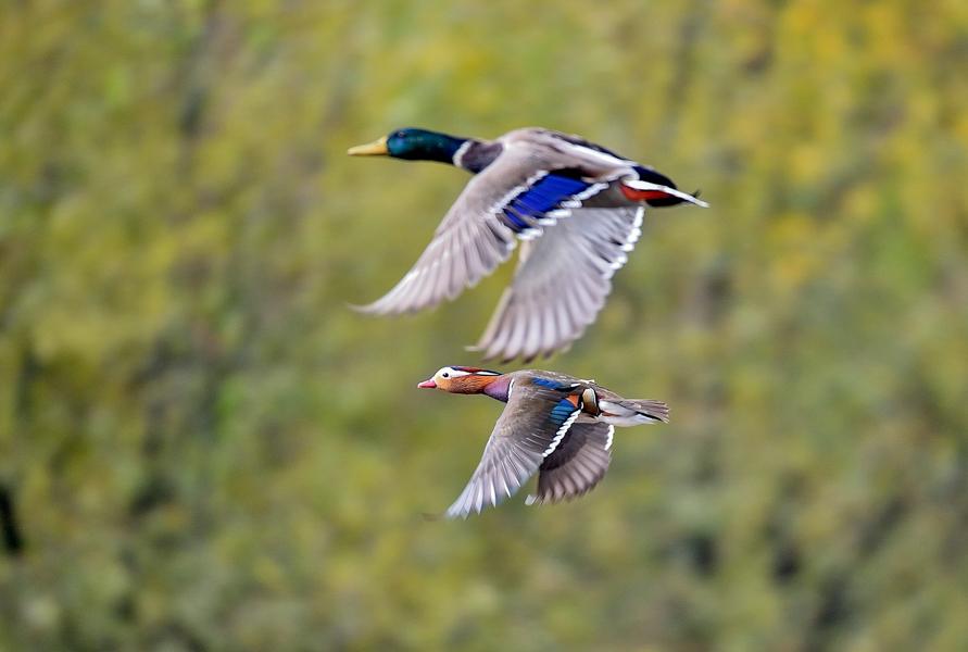 雲南劍湖濕地迎來最佳觀鳥季 多種珍稀候鳥現身