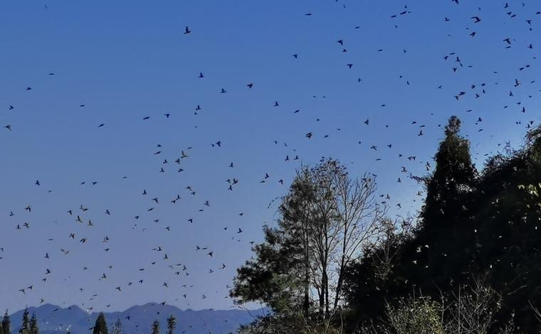 壯觀!數萬只麻雀齊聚雲南富源十八連山