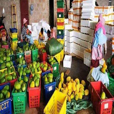 [綠色普洱]孟連300畝木瓜開始採摘 效益將達600萬元