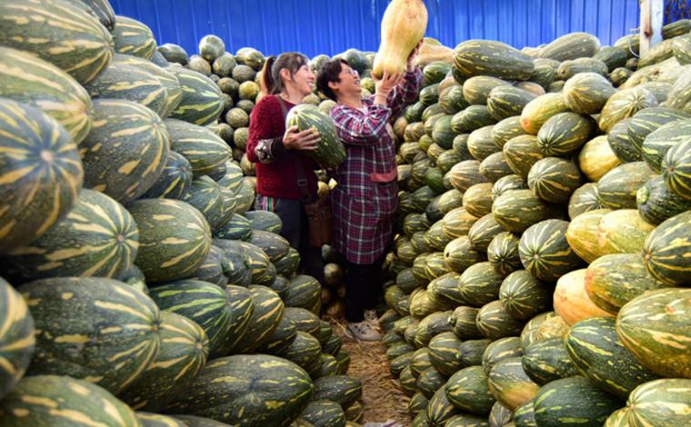 雲南彌勒:金瓜豐收收儲忙