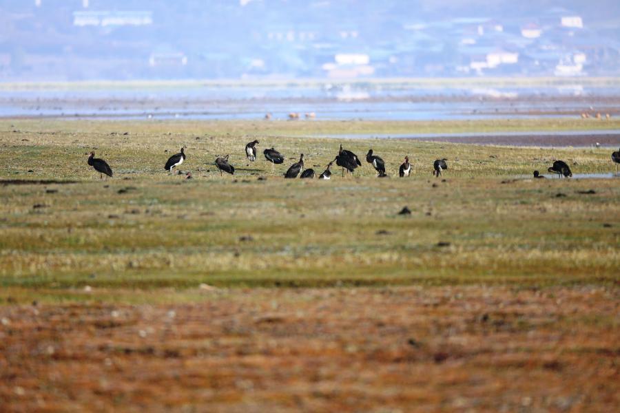 雲南納帕海國際重要濕地成黑鸛國內最大越冬停歇地